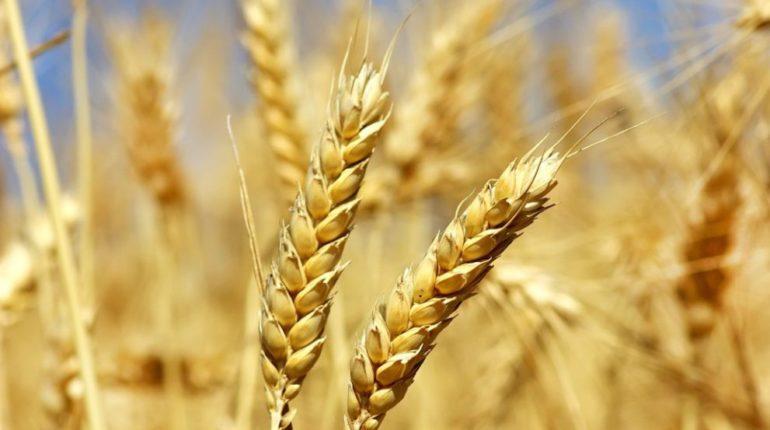 Svelato il genoma del grano tenero, il cereale più coltivato al mondo: il contributo del CREA