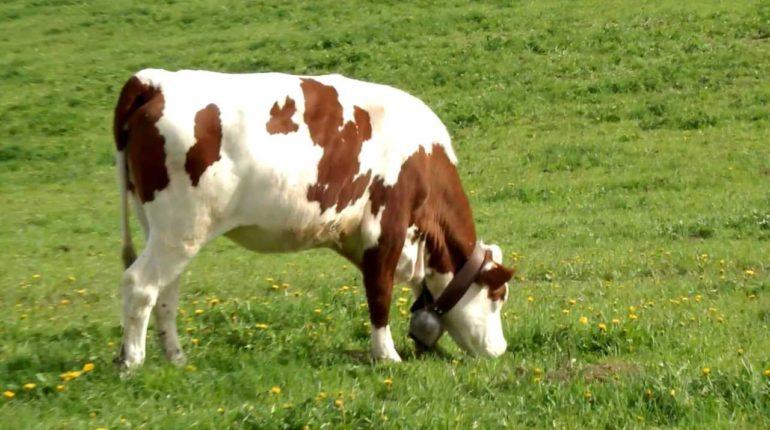 ZOOTECNIA: RIDURRE L'IMPRONTA DI CARBONIO CON IL PROGETTO LIFE BEEF CARBON