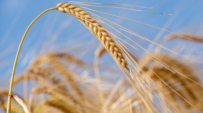 Biodiversità del grano: più sostenibilità ambientale e sicurezza alimentare con il progetto AGENT