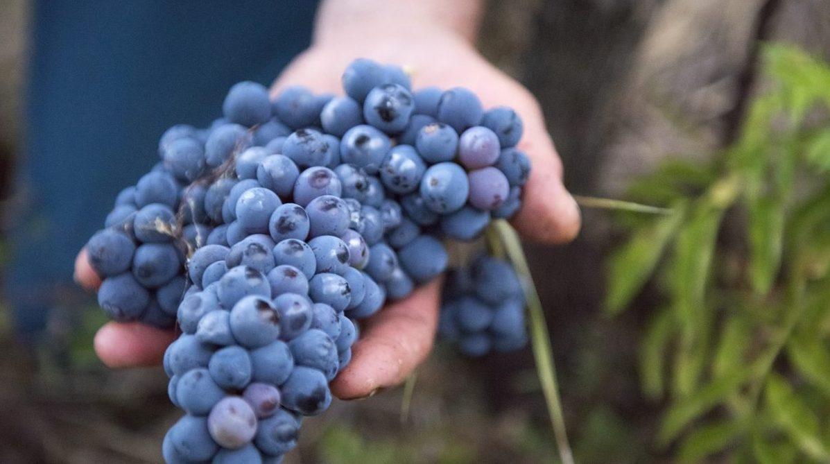 Alle radici della cultivar Cesanese di Olevano Romano